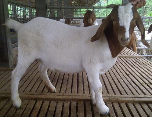 kambing boerwa