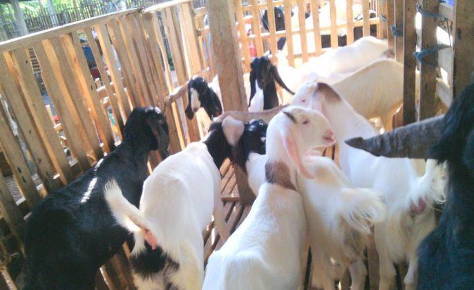 peternakan kambing pe
