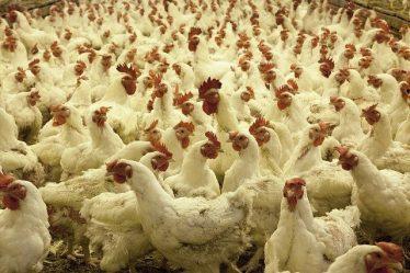 Usaha Ternak Ayam