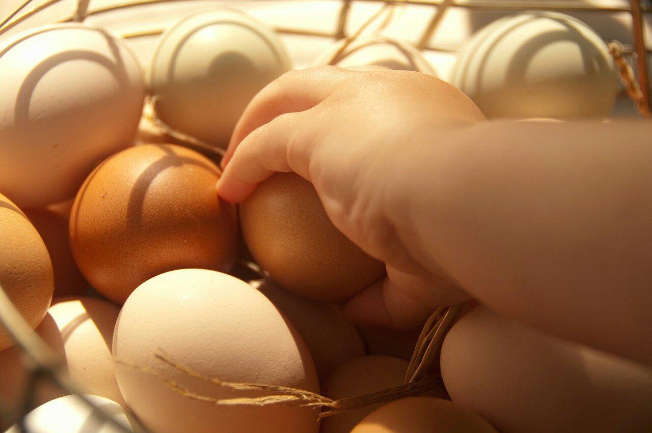 Usaha Ayam Petelur Rumahan