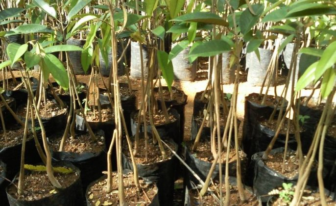 Pembibitan Durian
