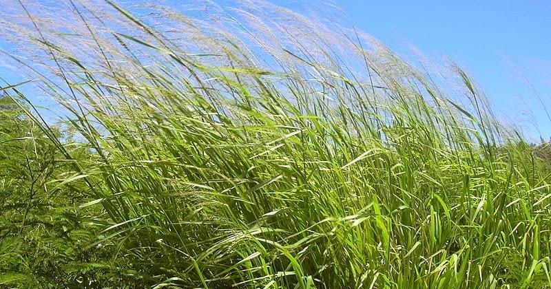 Rumput Benggala
