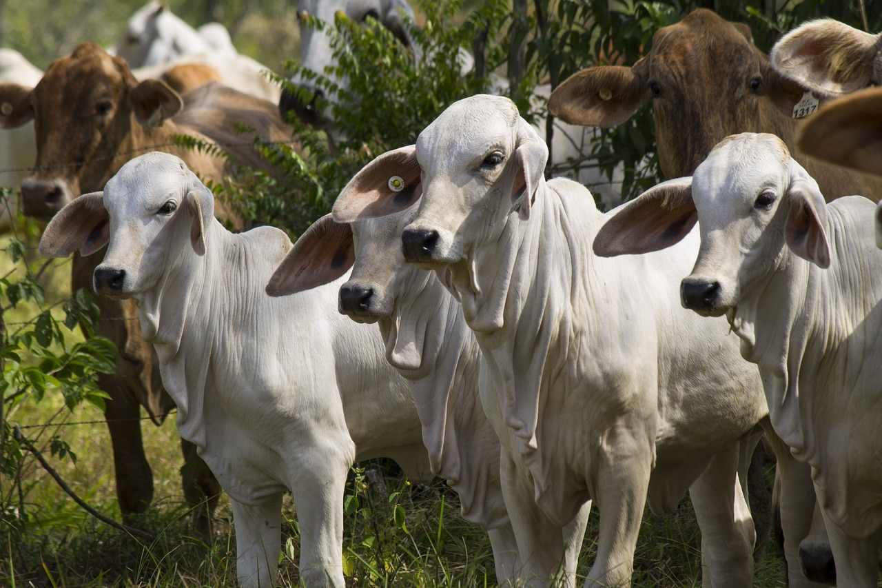 Bibit atau bakalan sapi