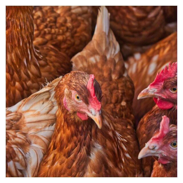 Cara Ternak Ayam Jawa Super Untuk Pemula - HiNyong
