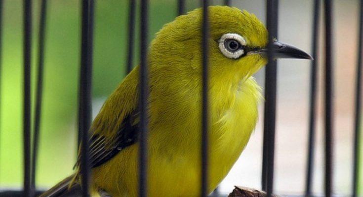 Cara Ternak Burung Pleci