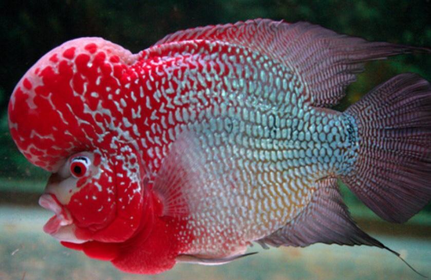 Cara Ternak Ikan Louhan