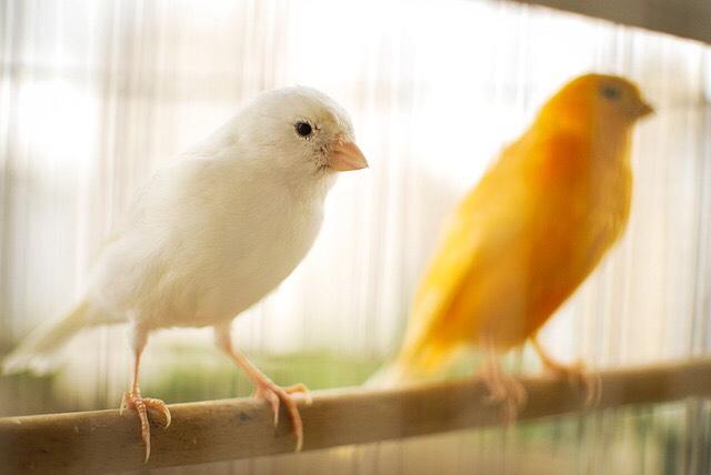 Bibit Ternak Burung kenari