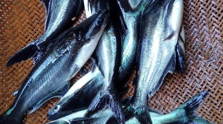 Cara Ternak Ikan Patin