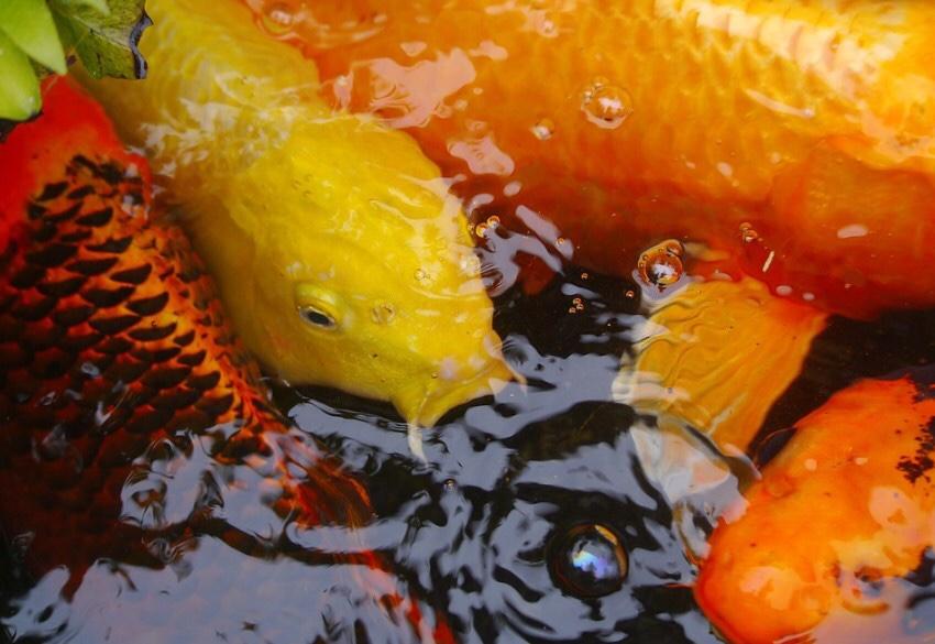 Cara Ternak Ikan Mas