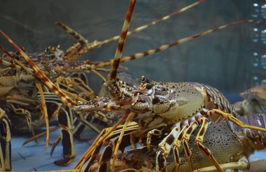 Ternak Lobster Air Tawar