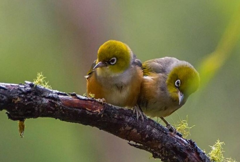 Bibit Burung Pleci