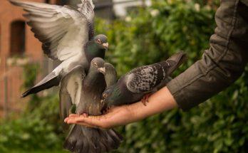 Budidaya Burung Merpati